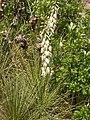 Yucca glauca (5241689931).jpg