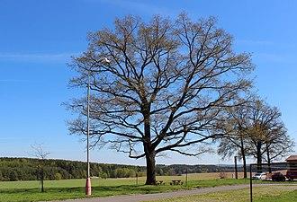 Záchlumí (Tachov District) - Image: Záchlumí, protected oak