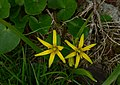 Złoć żółta. (Gagea lutea). 01.jpg