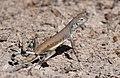 Zebra-tailed Lizard (33089290163).jpg
