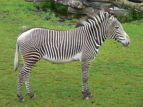 Un VRAI zèbre  - Page 2 290px-Zebra_zoo-leipzig
