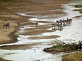 Zebras in Tanzania 0750 Nevit.jpg