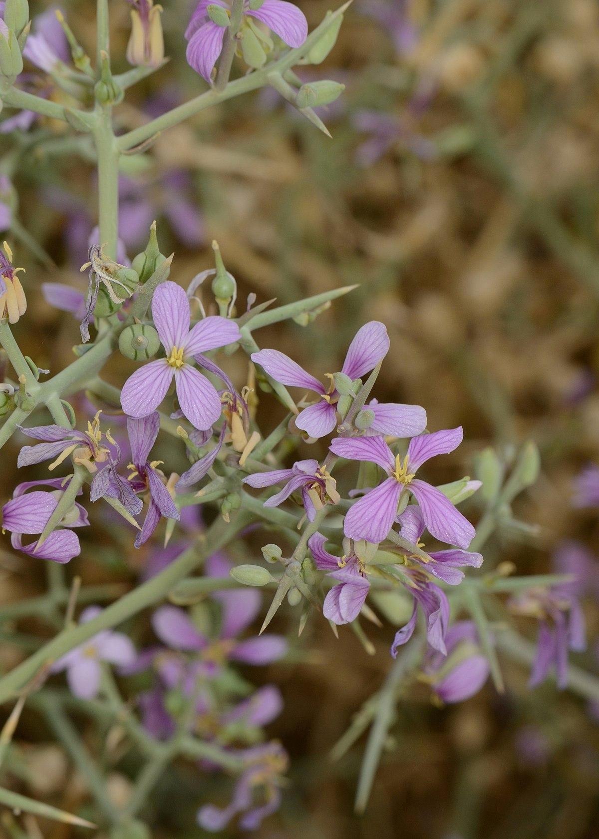 Zilla (plant)