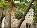 Zimtapfel in Ghana.jpg