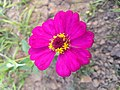 Zinnia single layer and 12 Petals faded pink 2.jpg