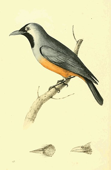 Zoological Illustrations Volume III Plate 147.jpg