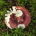 Zwartpurperen russula (Russula atropurpurea) (d.j.b.) 02.jpg