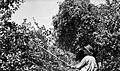 """""""Oberaun?k"""" (obiralnik) za sadje, Hrastno 1961.jpg"""