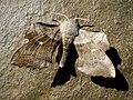 """Study in silver"" Poplar Hawkmoth. Laothoe populi (30372200778).jpg"