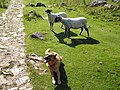 'Ay ewe^ Is that a wolf^' - geograph.org.uk - 747505.jpg