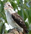 (1)Kookaburra 014a.jpg