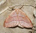 (1962) Barred Red (Hylaea fasciaria) (4920932716).jpg