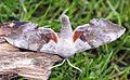 (1981) Poplar Hawk-moth (Laothoe populi) - Flickr - Bennyboymothman.jpg