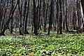 Весняний ліс. Бабинська стінка.jpg