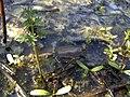 Водна рослинність у заказнику Михайловичі.jpg
