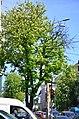 Вікові липи, ясени та каштани по вулиці Володимирській у Києві. Фото 2.jpg