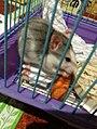 Декоративная крыса 1.jpg