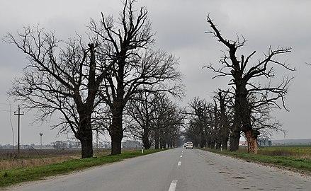 Дрворед храстова код Бачког Петровог Села.jpg