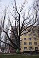 Дуб черешчатий, вул. Адм. Макарова, 1.jpg