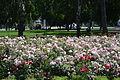 Клумба с розами.JPG