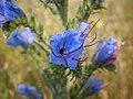 Обикновено усойниче - Echium vulgare.jpg