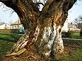 Один із віковічних дубів біля садиби Новомосковського військлісгоспу.jpg
