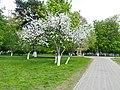 Первая распустившаяся в 2018 году яблоня в парке г. Реутова Московской области (Россия).jpg