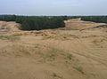 Сосна в Олешківських пісках.jpg