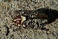 Хрущ мраморный - Polyphylla fullo - Pine Chafer - Walker (Türkischer Maikäfer) (27699043326).jpg