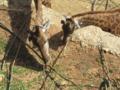 ג'ירף דרום אפריקני Giraffa giraffa giraffa 2.webp