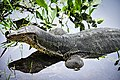 ตะกวด Photographed by Trisorn Triboon-80 (1).jpg