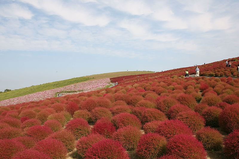 File:ひたち海浜公園 - panoramio (13).jpg