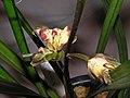 報歲邵氏奇蝶 Cymbidium sinense 'Shao's Odd Butterfly' -香港沙田國蘭展 Shatin Orchid Show, Hong Kong- (12267228474).jpg