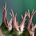 大戟之刺 Thorns of Euphorbia - panoramio.jpg