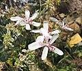 天竺葵屬 Pelargonium ferulaceum -比利時國家植物園 Belgium National Botanic Garden- (9229788282).jpg