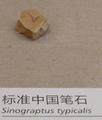 标准中国笔石.png