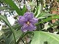 澳洲茄 Solanum laciniatum -倫敦植物園 Kew Gardens, London- (9198151953).jpg