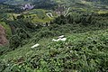 茗岙梯田与羊群 - panoramio.jpg