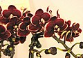 蝴蝶蘭 Phalaenopsis Taisuco Kobold -台南國際蘭展 Taiwan International Orchid Show- (39129452540).jpg