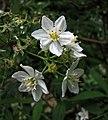長梗溲疏 Deutzia vilmorinae -哥本哈根大學植物園 Copenhagen University Botanical Garden- (36932494386).jpg