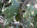 ... caterpillar -- moth -- gelatin slug moth caterpillar (8197281660).jpg