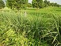 0369jfPulilan Balatong Manggo Fields grass Bulacanfvf 31.JPG