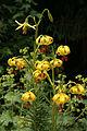 0 Lilium pyrenaicum - Samoëns 1.JPG