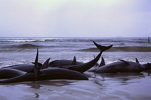 Cetacean stranding - Beached false killer whales at Flinders Bay, Western Australia, 1986.