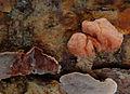 2008-02-29 Tremella encephala Stereum sanguinolentum.jpg