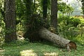 2008-07-12 Uprooted tree trunk in Durham.jpg
