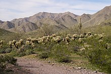 Desert scene with many cactus, mountains in the background, and a footpath in the foreground