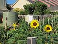 2011 MerriCorner community garden Australia 5355964141.jpg