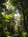 2013-08-25 12 03 03 A third view into the canopy towards some Paper Birches near 50 Ridge Road at Spring Lake in Berlin, New York.jpg