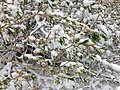 2014-06-17 09 21 25 Snow in June on a Willow with new foliage and catkins along the upper portion of Lamoille Canyon Road in Lamoille Canyon, Nevada.jpg